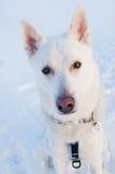 一条空白狗的纵向在冬天 免版税库存图片