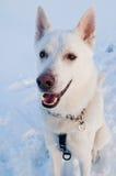 一条空白狗的纵向在冬天 免版税图库摄影