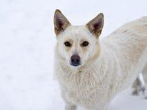 一条空白狗的纵向 图库摄影