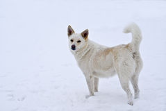 一条空白狗的纵向 库存图片