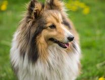 一条红色大牧羊犬狗的画象在鲜绿色的草背景的  库存照片