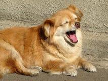 一条红色狗谎言在阳光下打呵欠 库存照片