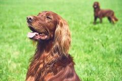一条红色irisch安装员狗坐草甸 免版税库存照片