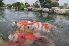 一条红色koi鱼游泳对水表面  免版税库存照片
