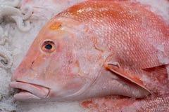 一条红鲷鱼的头在冰钓鱼, 库存照片