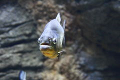 一条红鼓起的比拉鱼的特写镜头 库存照片