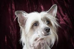 一条纯血统无毛的中国有顶饰狗的画象 图库摄影