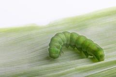 一条绿色毛虫在叶子爬行 图库摄影
