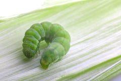 一条绿色毛虫在叶子爬行 免版税图库摄影