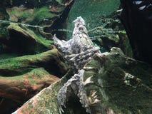 一条美丽的乌龟鳄鱼,强有力的下颌, 库存图片