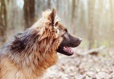 一条美丽的幼小蓬松德国牧羊犬狗的画象在森林走与室外的宠物 库存图片