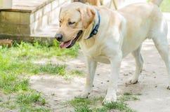 一条美丽的愉快的拉布拉多狗,使用和休息在夏天 免版税库存照片
