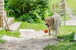 一条美丽的愉快的拉布拉多狗,使用和休息在夏天 免版税库存图片