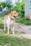 一条美丽的愉快的拉布拉多狗,使用和休息在夏天 免版税图库摄影