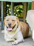 一条美丽的愉快的拉布拉多狗,使用和休息在夏天 图库摄影