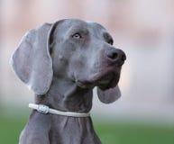 一条美丽的成年女性Weimaraner狗 库存照片