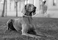 一条美丽的成年女性Weimaraner狗 库存图片