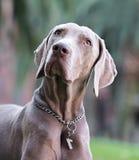 一条美丽的成年男性Weimaraner狗 库存图片