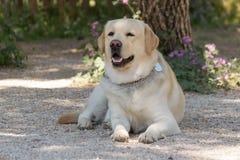 一条美丽的拉布拉多狗的画象 免版税库存照片