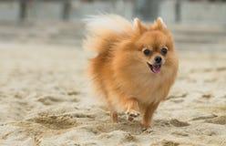 一条美丽的母pomeranian狗 免版税库存图片
