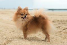 一条美丽的母pomeranian狗 免版税库存照片