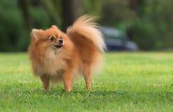 一条美丽的母pomeranian狗 图库摄影