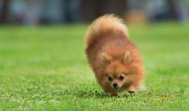 一条美丽的母pomeranian狗 免版税图库摄影