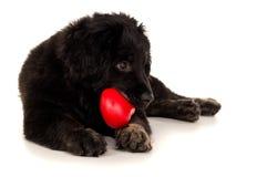 一条美丽的狗,黑拉布拉多的画象 免版税库存图片