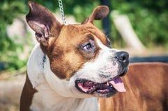 一条美丽的男性纯血统美国斯塔福德郡狗的画象 库存图片