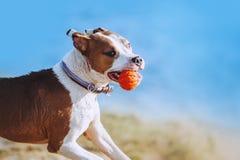 一条美丽的白棕色男性狗品种美国斯塔福德郡狗跑并且跳跃以水为背景 画象 图库摄影