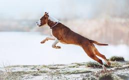 一条美丽的白棕色男性狗品种美国斯塔福德郡狗跑并且跳跃以水为背景 免版税库存图片