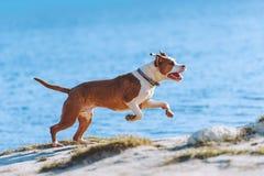 一条美丽的白棕色男性狗品种美国斯塔福德郡狗跑并且跳跃以水为背景 库存图片