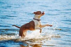 一条美丽的白棕色男性狗品种美国斯塔福德郡狗跑并且跳跃以水为背景 免版税库存照片