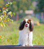 一条美丽的白红色狗坐一个长木凳和lickens他的舌头 在秋天背景下落的画象  库存照片