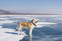 一条美丽的纯血统红发日本人秋田Inu狗在贝加尔湖雪和蓝色清楚的冰站立在冬天 库存照片