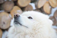 一条美丽的萨莫耶特人狗的画象 免版税库存图片
