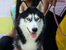 一条美丽的西伯利亚爱斯基摩人狗的特写镜头 免版税库存照片