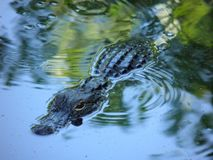 一条美丽的鳄鱼在树荫下绿色和蓝色 免版税库存图片