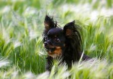 一条美丽的黑和棕褐色的狗的画象在绿草的 免版税库存照片