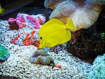 一条美丽的黄色鱼 库存照片