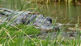 一条美国短吻鳄,鳄鱼mississippiensis,爬行在沼泽在港Aransas,得克萨斯 影视素材