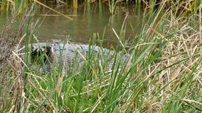 一条美国短吻鳄,鳄鱼mississippiensis,爬行在沼泽在港Aransas,得克萨斯 股票视频