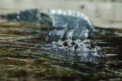 一条美国短吻鳄皮在表面下 免版税库存照片