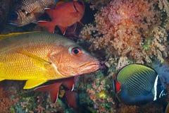一条美妙的橙色和蓝色浪潮鱼水下在马尔代夫,上帝被创造多么美丽 免版税库存图片