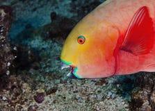 一条美妙的橙色和赤潮鱼水下在马尔代夫,上帝被创造多么美丽 图库摄影