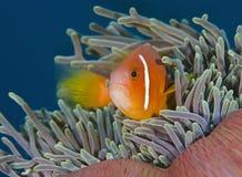 一条美妙的橙色和赤潮鱼水下在马尔代夫,上帝被创造多么美丽 免版税库存照片