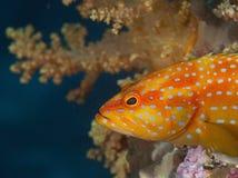 一条美妙的橙色鱼水下在马尔代夫,上帝被创造多么美丽 库存图片
