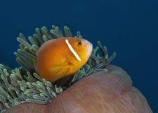 一条美妙的橙色鱼水下在马尔代夫,上帝被创造多么美丽 图库摄影