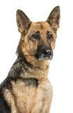 一条老德国牧羊犬狗的特写镜头,被隔绝 免版税库存照片