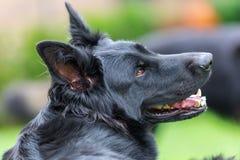 一条老德国牧羊犬狗的画象 图库摄影